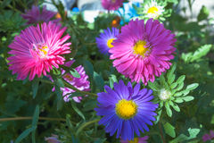 Colored, colorful daisies on a green blurred background in the summer garden. Blue and red large flowers done with a. Soft focus. Flowers photographed in close Stock Photo