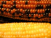 Colored Corn. A close up of two cobs of colored corn royalty free stock images