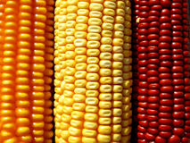 Colored corn. Background with three different colored corn Royalty Free Stock Photo