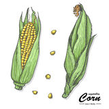 Colored corn in sketch style Royalty Free Stock Images