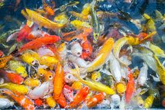 Colored Crap fish top view pond in the park, Fancy crap fish sur. Face on the water Royalty Free Stock Images