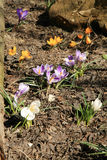 Colored Crocus Stock Photography