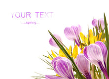 Colored crocusses Royalty Free Stock Image