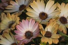 Colored daisy Stock Photo
