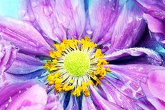 Colored daisy with rain drops Royalty Free Stock Photos