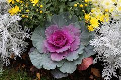 Colored decorative cabbage. Cauliflower in the garden. Colored decorative cabbage. Cauliflower in the garden royalty free stock photography