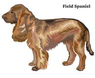 Colored decorative standing portrait of dog Field Spaniel vector. Portrait of standing in profile dog Field Spaniel, vector colorful illustration isolated on Royalty Free Stock Images