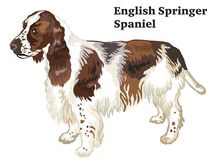 Colored decorative standing portrait of English Springer Spaniel. Portrait of standing in profile dog  English Springer Spaniel, vector colorful illustration Stock Images