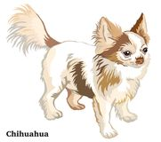 Free Colored Decorative Standing Portrait Of Dog Long-haired Chihuahu Royalty Free Stock Photos - 122629548