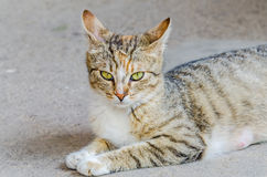 Colored domestic cat with green eyes, close up, portrait. Stock Photography