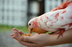 A colored dove eats from human hands Stock Photography