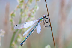 Colored dragonfly in dew drops on a meadow Stock Image