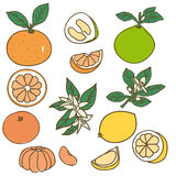 Colored Drawing Organic Food Collection. With different kinds of citrus fruits on white background isolated vector illustration stock illustration