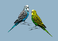 Colored drawing of two budgies. Vector illustration Stock Photo