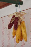 Colored dried corn Stock Image
