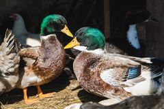 Colored ducks and drakes in a barn stock photo
