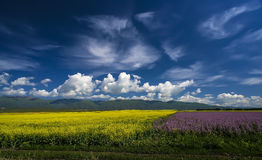 Colored earth. Large-scale cultivation of rape、the Salvia SclareL flowering when the earth like sprinkled with multicolored Stock Image