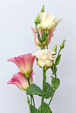 Colored Eustoma Flowers. Macro. Stock Images