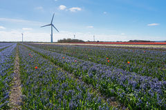 Colored field of flower bulbs in the province of North Holland. Royalty Free Stock Photography