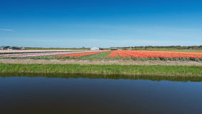 Colored field of flower bulbs in the province of North Holland. Royalty Free Stock Image