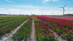 Colored field of flower bulbs in the province of North Holland. Stock Photography