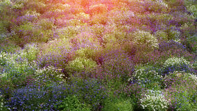 Colored field of wild flowers at sunset Royalty Free Stock Photos