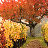 Colored fields-Vineyard Royalty Free Stock Image