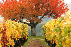 Colored fields-Vineyard Stock Images