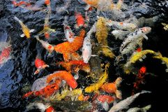 Colored fish, aquarium in nature, underwater world Royalty Free Stock Photos