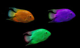 Colored fish Stock Image