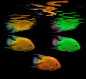 Colored fish Royalty Free Stock Photo