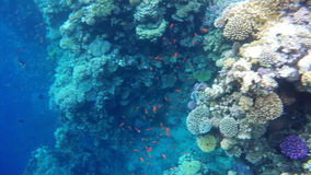 Colored fish among the coral reefs stock video footage