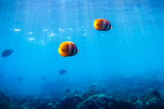 Colored fish and corals in the ocean Royalty Free Stock Image