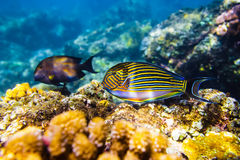 Colored fish and corals in the ocean Royalty Free Stock Photos