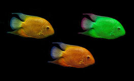 Colored fish isolated on black Stock Images