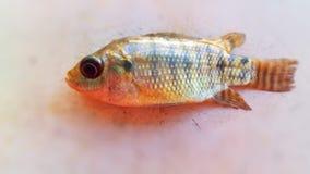 Colored fish. Marine life form, fauna, in the region of Tierra Caliente, Guerrero, Mexico Stock Image