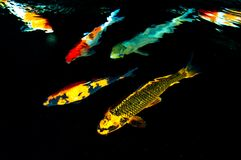 Colored fish in pond Royalty Free Stock Photos