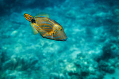 Colored fish with stripes in the Pacific Ocean Stock Image