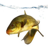 Colored fish swimming free, carp, tench Royalty Free Stock Photography