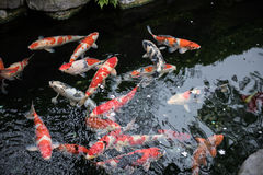 Colored Fishes Swimming Stock Photo