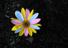 Colored flower Stock Photography