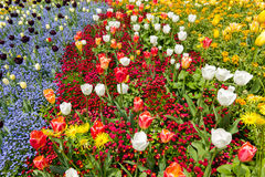 Colored flower bed in Spring. Frame filled with colorful flowers Royalty Free Stock Photo