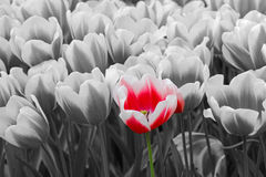 Colored flower in black-white photo Stock Photography