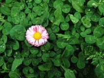 colored flower in clover Royalty Free Stock Photos