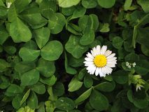 colored flower in clover Stock Image