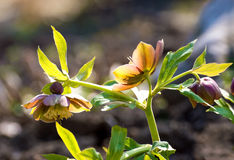 Colored flowered hellebore Royalty Free Stock Image