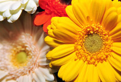 Colored gerbera Stock Photos