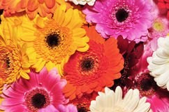 Colored gerbera Royalty Free Stock Image