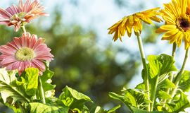 Colored gerbera daisies flowers closeups. A couple of pink and yellow gerbera daisies flowers closeups stock image