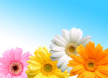 Colored gerbera flowers Royalty Free Stock Photography